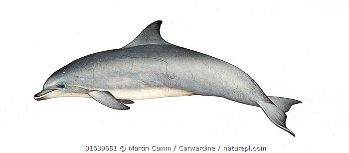 Common bottlenose dolphin (Tursiops truncatus) adult     No more than 15 illustrations by Martin Camm, Rebecca Robinson and/or Toni Llobet to be used in a single project or book edition, except by prior written agreement from Mark Carwardine.  ,  Animal,Wildlife,Vertebrate,Mammal,Ceteacean,Oceanic dolphin,Bottle nose dolphins,Bottle-nosed Dolphin,Animalia,Animal,Wildlife,Vertebrate,Mammalia,Mammal,Cetacea,Ceteacean,Delphinidae,Oceanic dolphin,Dolphin,Odontoceti,Tursiops,Bottle nose dolphins,Tursiops truncatus,Bottle-nosed Dolphin,Bottlenosed Dolphin,Bottlenose Dolphin,Common Bottlenose Dolphin,Cutout,Plain Background,White Background,Illustration,Marine  ,  Martin Camm / Carwardine