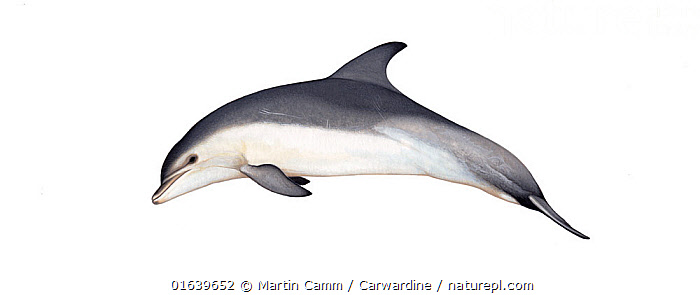 Common bottlenose dolphin (Tursiops truncatus) adult Burrunan (distinct form from Australia)     No more than 15 illustrations by Martin Camm, Rebecca Robinson and/or Toni Llobet to be used in a single project or book edition, except by prior written agreement from Mark Carwardine.  ,  Animal,Wildlife,Vertebrate,Mammal,Ceteacean,Oceanic dolphin,Bottle nose dolphins,Bottle-nosed Dolphin,Animalia,Animal,Wildlife,Vertebrate,Mammalia,Mammal,Cetacea,Ceteacean,Delphinidae,Oceanic dolphin,Dolphin,Odontoceti,Tursiops,Bottle nose dolphins,Tursiops truncatus,Bottle-nosed Dolphin,Bottlenosed Dolphin,Bottlenose Dolphin,Common Bottlenose Dolphin,Cutout,Plain Background,White Background,Illustration,Marine  ,  Martin Camm / Carwardine