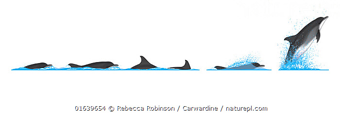 Common bottlenose dolphin (Tursiops truncatus) Dive sequence and breaching     No more than 15 illustrations by Martin Camm, Rebecca Robinson and/or Toni Llobet to be used in a single project or book edition, except by prior written agreement from Mark Carwardine.  ,  Animal,Wildlife,Vertebrate,Mammal,Ceteacean,Oceanic dolphin,Bottle nose dolphins,Bottle-nosed Dolphin,Animalia,Animal,Wildlife,Vertebrate,Mammalia,Mammal,Cetacea,Ceteacean,Delphinidae,Oceanic dolphin,Dolphin,Odontoceti,Tursiops,Bottle nose dolphins,Tursiops truncatus,Bottle-nosed Dolphin,Bottlenosed Dolphin,Bottlenose Dolphin,Common Bottlenose Dolphin,Breaching,Cutout,Plain Background,White Background,Illustration,Animal Behaviour,Behaviour,Breaches,Surfacing,Behavioural,Marine  ,  Rebecca Robinson / Carwardine