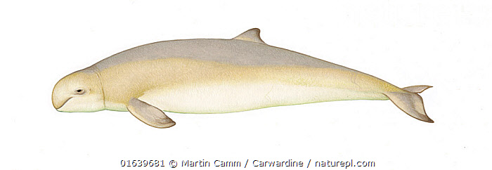 Australian snubfin dolphin (Orcaella heinsohni)adult     No more than 15 illustrations by Martin Camm, Rebecca Robinson and/or Toni Llobet to be used in a single project or book edition, except by prior written agreement from Mark Carwardine.  ,  Animal,Animalia,Australian Snubfin Dolphin,Cetacea,cetacean,Cutout,Delphinidae,Dolphin,Illustration,Mammal,Mammalia,Marine,Oceanic dolphin,Odontoceti,Orcaella,Orcaella heinsohni,Plain Background,Snub fin dolphins,Vertebrate,White Background,Wildlife  ,  Martin Camm / Carwardine