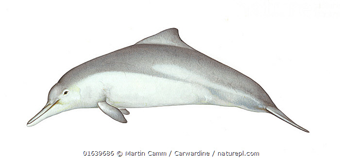 Australian humpback dolphin (Sousa sahulensis)adult male     No more than 15 illustrations by Martin Camm, Rebecca Robinson and/or Toni Llobet to be used in a single project or book edition, except by prior written agreement from Mark Carwardine.  ,  Animal,Animalia,Australian Humpback Dolphin,Cetacea,cetacean,Cutout,Delphinidae,Dolphin,Humpbacked dolphin,Illustration,Male Animal,Mammal,Mammalia,Marine,Oceanic dolphin,Odontoceti,Plain Background,Sousa,Sousa sahulensis,Vertebrate,White Background,Wildlife  ,  Martin Camm / Carwardine