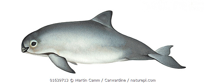 Vaquita (Phocoena sinus)