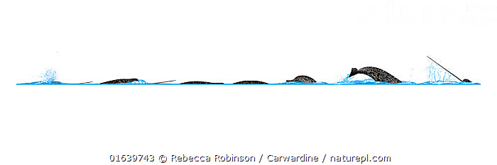 Narwhal (Monodon monoceros)Dive sequence     No more than 15 illustrations by Martin Camm, Rebecca Robinson and/or Toni Llobet to be used in a single project or book edition, except by prior written agreement from Mark Carwardine.  ,  Animal,Animalia,Cetacea,cetacean,Cutout,Illustration,Mammal,Mammalia,Marine,Monodon,Monodon microcephalus,Monodon monoceros,Monodon monodon,Monodon narhval,Monodontidae,Narwhal,Odontoceti,Plain Background,Toothed whale,Unicorn Whale,Vertebrate,White Background,Wildlife  ,  Rebecca Robinson / Carwardine
