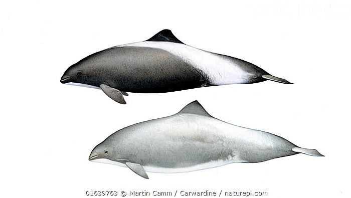 Harbour porpoise (Phocoena phocoena) Hybrids with Dall's porpoise (Phocoenoides dalli)     No more than 15 illustrations by Martin Camm, Rebecca Robinson and/or Toni Llobet to be used in a single project or book edition, except by prior written agreement from Mark Carwardine.  ,  Animal,Wildlife,Vertebrate,Mammal,Ceteacean,Porpoise,Common Porpoise,Dall&#39,s Porpoise,Animalia,Animal,Wildlife,Vertebrate,Mammalia,Mammal,Cetacea,Ceteacean,Phocoenidae,Porpoise,Odontoceti,Phocoena,Phocoena phocoena,Common Porpoise,Harbour Porpoise,Phocoenoides,Phocoenoides dalli,Dall&#39,s Porpoise,White-flanked Porpoise,Cutout,Plain Background,White Background,Illustration,Marine  ,  Martin Camm / Carwardine