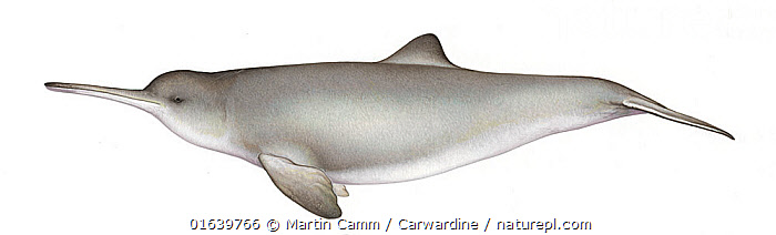 Franciscana dolphin (Pontoporia blainvillei) adult female     No more than 15 illustrations by Martin Camm, Rebecca Robinson and/or Toni Llobet to be used in a single project or book edition, except by prior written agreement from Mark Carwardine.  ,  Animal,Animalia,Cetacea,cetacean,Cutout,Endangered species,Female animal,Franciscana,Freshwater,Illustration,Iniidae,La Plata River Dolphin,Mammal,Mammalia,Odontoceti,Plain Background,Pontoporia,Pontoporia blainvillei,River dolphin,threatened,Vertebrate,Vulnerable,White Background,Wildlife  ,  Martin Camm / Carwardine