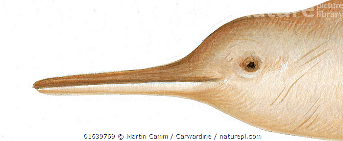 Franciscana dolphin (Pontoporia blainvillei)     No more than 15 illustrations by Martin Camm, Rebecca Robinson and/or Toni Llobet to be used in a single project or book edition, except by prior written agreement from Mark Carwardine.  ,  Animal,Wildlife,Vertebrate,Mammal,Ceteacean,River dolphin,Franciscana,Animalia,Animal,Wildlife,Vertebrate,Mammalia,Mammal,Cetacea,Ceteacean,Iniidae,River dolphin,Odontoceti,Pontoporia,Pontoporia blainvillei,Franciscana,La Plata River Dolphin,Cutout,Plain Background,White Background,Illustration,Male Animal,Freshwater,Endangered species,threatened,Vulnerable  ,  Martin Camm / Carwardine