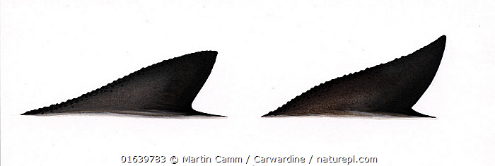 Burmeister's porpoise (Phocoena spinipinnis) dorsal fin variations     No more than 15 illustrations by Martin Camm, Rebecca Robinson and/or Toni Llobet to be used in a single project or book edition, except by prior written agreement from Mark Carwardine.  ,  Animal,Wildlife,Vertebrate,Mammal,Ceteacean,Porpoise,Black Porpoise,Animalia,Animal,Wildlife,Vertebrate,Mammalia,Mammal,Cetacea,Ceteacean,Phocoenidae,Porpoise,Odontoceti,Phocoena,Phocoena spinipinnis,Black Porpoise,Burmeister&#39,s Porpoise,Phocoena philippii,Cutout,Plain Background,White Background,Illustration,Marine  ,  Martin Camm / Carwardine