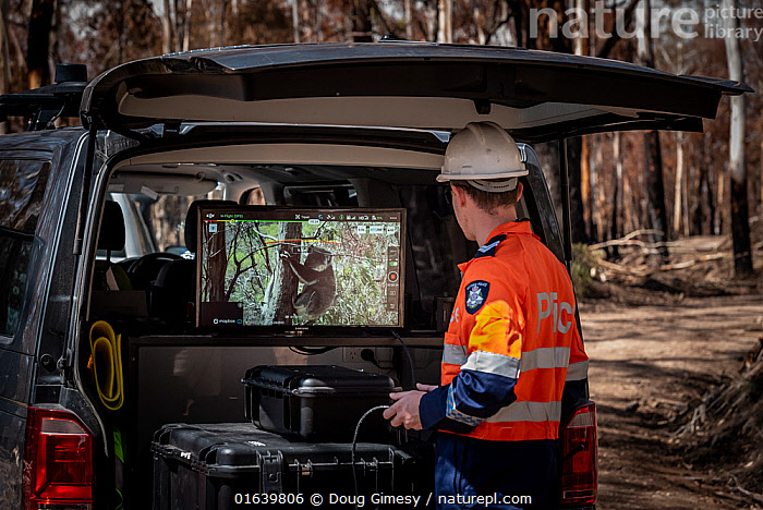 Member of the Victorian Police Remote Piloted Aircraft Systems (Police Air Wing, Specialist Response Division) looking at a screen which is displaying an image sent via a drone of a koala (Phascolarctos cinereus) high up in a tree. This drone is being trailed to help Victorian Forest and Wildlife Officers find and then make preliminary burn/health assessments of koalas that may have been impacted as a result of recent bushfires in the area. Gelantipy, Victoria, Australia. January 2020. Editorial use only,, Animal,Wildlife,Vertebrate,Mammal,Marsupial,Koala,Animalia,Animal,Wildlife,Vertebrate,Mammalia,Mammal,Marsupialia,Marsupial,Phascolarctos,Phascolarctos cinereus,Koala,Phascolarctos flindersii,Phascolarctos fuscus,Phascolarctos koala,People,Emergency Service Occupation,Police Officer,Police,Police Officers,Rescue,Rescues,Rescuing,Saving,Australasia,Australia,Victoria,Fire,Environment,Environmental Issues,Global Warming,Greenhouse Effect,Conservation,Animal rehabilitation,Rehabilitation,Climate change,Wildlife conservation,Wildfire,Wild fire,Wild fires,Bush Fire,Phascolarctidae,, Doug Gimesy