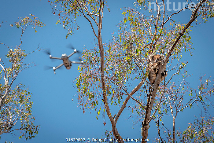 Drone, operated bya member of the Victorian Police Remote Piloted Aircraft Systems (Police Air Wing, Specialist Response Division) hovers near a koala (Phascolarctos cinereus). This drone is being used to help Victorian Forest and Wildlife Officers find and then make preliminary burn/health assessments of koalas that may have been impacted as a result of recent bushfires in the area. Gelantipy, Victoria, Australia January, 2020. Editorial use only. ?Cropped., Animal,Wildlife,Vertebrate,Mammal,Marsupial,Koala,Animalia,Animal,Wildlife,Vertebrate,Mammalia,Mammal,Marsupialia,Marsupial,Phascolarctos,Phascolarctos cinereus,Koala,Phascolarctos flindersii,Phascolarctos fuscus,Phascolarctos koala,People,Emergency Service Occupation,Police Officer,Police,Police Officers,Australasia,Australia,Victoria,Equipment,Photographic Equipment,Camera,Fire,Environment,Environmental Issues,Global Warming,Greenhouse Effect,Forest,Climate change,Interesting,Wildfire,Wild fire,Wild fires,Bush Fire,Phascolarctidae,Drone,, Doug Gimesy