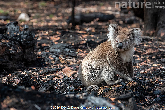 Koala (Phascolarctos cinereus) that has come down from a tree after a bush fire in the area, sits on the burnt ground. Gelantipy, Victoria, Australia. January 2020, Animal,Wildlife,Vertebrate,Mammal,Marsupial,Koala,Animalia,Animal,Wildlife,Vertebrate,Mammalia,Mammal,Marsupialia,Marsupial,Phascolarctos,Phascolarctos cinereus,Koala,Phascolarctos flindersii,Phascolarctos fuscus,Phascolarctos koala,Rescue,Rescues,Rescuing,Saving,Sadness,Australasia,Australia,Victoria,Fire,Environment,Environmental Issues,Global Warming,Greenhouse Effect,Conservation,Animal rehabilitation,Rehabilitation,Climate change,Wildlife conservation,Wildfire,Wild fire,Wild fires,Bush Fire,Phascolarctidae,, Doug Gimesy
