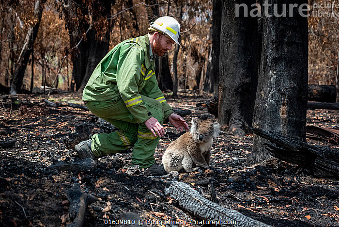 Koala (Phascolarctos cinereus) that has come down from a tree after a bush fire and is walking across burnt ground, is collected by Forest and Wildlife Officer Lachlan Clarke. Gelantipy, Victoria, Australia. January, 2020. Editorial use only. Cropped., Animal,Wildlife,Vertebrate,Mammal,Marsupial,Koala,Animalia,Animal,Wildlife,Vertebrate,Mammalia,Mammal,Marsupialia,Marsupial,Phascolarctos,Phascolarctos cinereus,Koala,Phascolarctos flindersii,Phascolarctos fuscus,Phascolarctos koala,People,Rescue,Rescues,Rescuing,Saving,Australasia,Australia,Victoria,Fire,Environment,Environmental Issues,Global Warming,Greenhouse Effect,Conservation,Animal rehabilitation,Rehabilitation,Climate change,Wildlife conservation,Wildfire,Wild fire,Wild fires,Bush Fire,Phascolarctidae,, Doug Gimesy