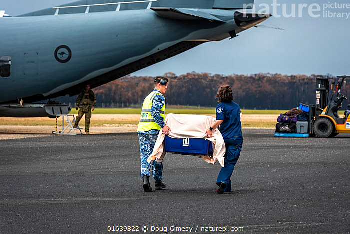 Koala (Phascolarctos cinereus) that was burnt in the Mallacoota bushfires is evacuated from the Mallacoota wildlife triage centre, carried in a crate by a RAAF crew member (left) and Forest and Wildlife Officer Mel Cheers (right), onto a Royal Australian Airforce (RAAF) C-27J Spartan for transport to Melbourne for further treatment by Zoos Victoria veterinarian staff. Six koalas were evacuated that day. Mallacoota airport, Mallacoota, Victoria, Australia. January 2020. Editorial use only.  ,  Animal,Wildlife,Vertebrate,Mammal,Marsupial,Koala,Animalia,Animal,Wildlife,Vertebrate,Mammalia,Mammal,Marsupialia,Marsupial,Phascolarctos,Phascolarctos cinereus,Koala,Phascolarctos flindersii,Phascolarctos fuscus,Phascolarctos koala,Rescue,Rescues,Rescuing,Saving,Australasia,Australia,Victoria,Equipment,Runway,Airstrip,Airstrips,Landing Strip,Landing Strips,Runways,Aircraft,Fire,Environment,Environmental Issues,Global Warming,Greenhouse Effect,Conservation,Animal rehabilitation,Rehabilitation,Climate change,Wildlife conservation,Wildfire,Wild fire,Wild fires,Bush Fire,Phascolarctidae,  ,  Doug Gimesy
