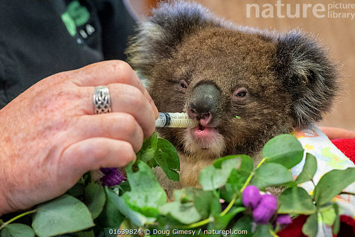Baby Koala (Phascolarctos cinereus) named 'Micky' - one of six evacuated from the Mallacoota wildlife triage centre to Melbourne for further treatment to burns resulting from the Mallacoota bushfires - is given some food (and health check) at East Sale Airforce Base by Zoos Victoria veterinary nurse Leanne De Lacy, before continuing his trip by road to Melbourne. He was flown by Royal Australian Airforce (RAAF) C-27J Spartan for this part of the journey. Despite best efforts by the Zoos Victoria veterinarian team. Micky later died from renal failure. East Sale RAAF Base, Sale, Victoria, Australia. January 2020. Cropped. Editorial use only.  ,  Animal,Wildlife,Vertebrate,Mammal,Marsupial,Koala,Animalia,Animal,Wildlife,Vertebrate,Mammalia,Mammal,Marsupialia,Marsupial,Phascolarctos,Phascolarctos cinereus,Koala,Phascolarctos flindersii,Phascolarctos fuscus,Phascolarctos koala,People,Rescue,Rescues,Rescuing,Saving,Australasia,Australia,Victoria,Fire,Environment,Environmental Issues,Global Warming,Greenhouse Effect,Feeding,Conservation,Animal rehabilitation,Rehabilitation,Climate change,Wildlife conservation,Wildfire,Wild fire,Wild fires,Bush Fire,Phascolarctidae,  ,  Doug Gimesy