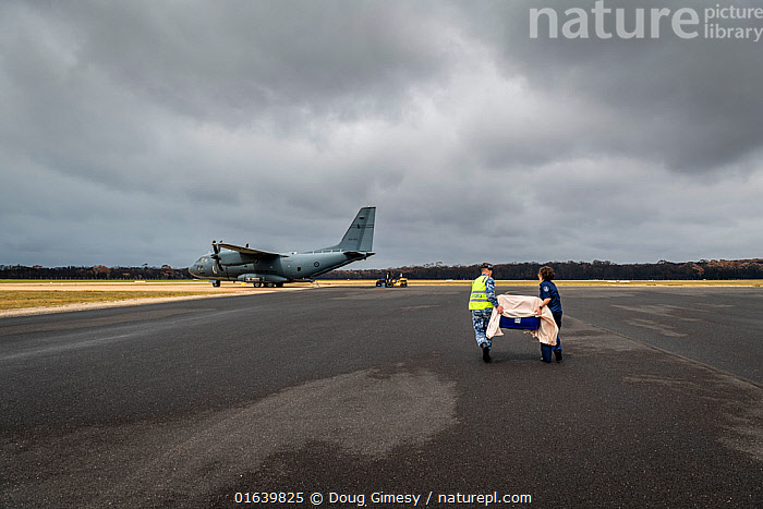 Koala (Phascolarctos cinereus) that was burnt in the Mallacoota bushfires is evacuated from the Mallacoota wildlife triage centre, carried in a crate by a RAAF crew member (left) and Forest and Wildlife Officer Mel Cheers (right), onto a Royal Australian Airforce (RAAF) C-27J Spartan for transport to Melbourne for further treatment by Zoos Victoria veterinarian staff. Six koalas were evacuated that day. Mallacoota airport, Mallacoota, Victoria, Australia. January 2020. Editorial use only., Animal,Wildlife,Vertebrate,Mammal,Marsupial,Koala,Animalia,Animal,Wildlife,Vertebrate,Mammalia,Mammal,Marsupialia,Marsupial,Phascolarctos,Phascolarctos cinereus,Koala,Phascolarctos flindersii,Phascolarctos fuscus,Phascolarctos koala,People,Rescue,Rescues,Rescuing,Saving,Australasia,Australia,Victoria,Equipment,Runway,Airstrip,Airstrips,Landing Strip,Landing Strips,Runways,Aircraft,Land Vehicle,Motor Vehicle,Fire,Environment,Environmental Issues,Global Warming,Greenhouse Effect,Conservation,Animal rehabilitation,Rehabilitation,Climate change,Wildlife conservation,Wildfire,Wild fire,Wild fires,Bush Fire,Car,Automobile,Phascolarctidae,, Doug Gimesy