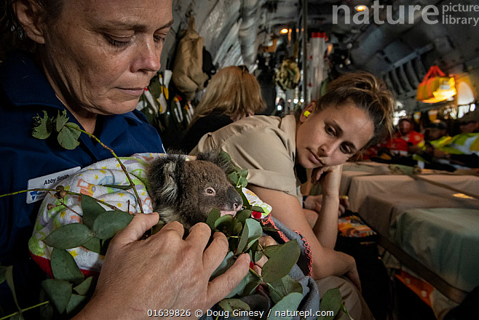 Triage coordinator and Senior Forest and Wildlife Officer Abby Smith - sitting in a Royal Australian Airforce (RAAF) C-27J Spartan - holding a young koala (Phascolarctos cinereus) that was burnt in the Mallacoota bushfires and is now being evacuated from the Mallacoota wildlife triage centre to Melbourne further treatment by Zoos Victoria veterinarian staff. Looking on is triage assistant and zoo keeper from Zoos Victoria, Jess MacDonald. Six koalas were evacuated that day by the air force. Despite best efforts by the Zoos Victoria veterinarian team. this koala (called 'Micky') later died from renal failure.  In flight between Mallacoota (Victoria, Australia) and East Sale RAAF Base, Sale, Victoria, Australia. January 2020. Editorial use only  ,  Animal,Wildlife,Vertebrate,Mammal,Marsupial,Koala,Animalia,Animal,Wildlife,Vertebrate,Mammalia,Mammal,Marsupialia,Marsupial,Phascolarctos,Phascolarctos cinereus,Koala,Phascolarctos flindersii,Phascolarctos fuscus,Phascolarctos koala,People,Rescue,Rescues,Rescuing,Saving,Australasia,Australia,Victoria,Equipment,Aircraft,Fire,Environment,Environmental Issues,Global Warming,Greenhouse Effect,Conservation,Animal rehabilitation,Rehabilitation,Climate change,Wildlife conservation,Wildfire,Wild fire,Wild fires,Bush Fire,Phascolarctidae,  ,  Doug Gimesy