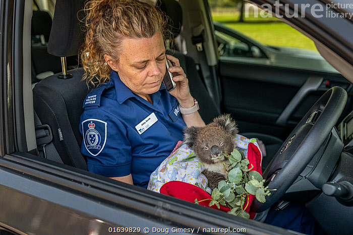 Senior Forest and Wildlife Officer Abby makes final arrangements to drive to Heaslville Sanctuary from Sale, with a young rescued burn victim Koala (Phascolarctos cinereus) named �Micky'. He was one of 6 koalas evacuated that day from the Mallacoota wildlife triage centre to Melbourne for further treatment to burns as a result of the Mallacoota bushfires. The initial part of the journey was by Royal Australian Air Force (RAAF) C-27J Spartan, the next part will be by road. They will then be looked after by Zoos Victoria veterinarian team. East Sale RAAF Base,  Sale, Victoria, Australia.? January 2020. Editorial use only., Animal,Wildlife,Vertebrate,Mammal,Marsupial,Koala,Animalia,Animal,Wildlife,Vertebrate,Mammalia,Mammal,Marsupialia,Marsupial,Phascolarctos,Phascolarctos cinereus,Koala,Phascolarctos flindersii,Phascolarctos fuscus,Phascolarctos koala,People,Woman,Rescue,Rescues,Rescuing,Saving,Australasia,Australia,Victoria,Fire,Environment,Environmental Issues,Global Warming,Greenhouse Effect,Conservation,Animal rehabilitation,Rehabilitation,Climate change,Wildlife conservation,Wildfire,Wild fire,Wild fires,Bush Fire,Phascolarctidae,, Doug Gimesy