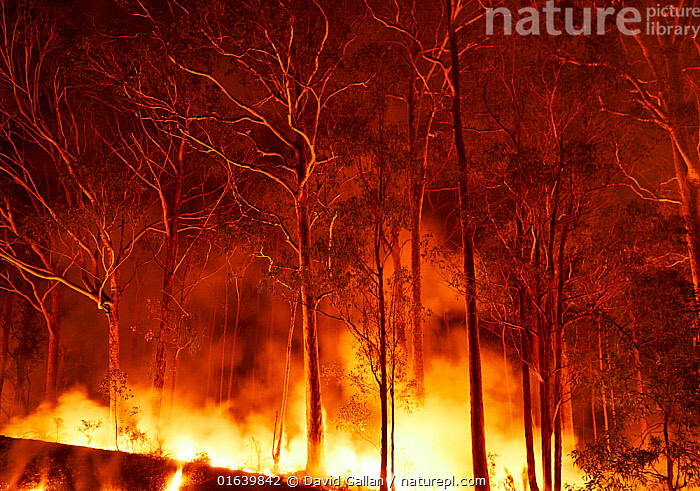 Bushfire in spotted gum (Corymbia maculata) forest on the far south coast of New South Wales, Australia. January 2020.  ,  Plant,Vascular plant,Flowering plant,Rosid,Myrtle,Spotted gum tree,Plantae,Plant,Tracheophyta,Vascular plant,Magnoliopsida,Flowering plant,Angiosperm,Seed plant,Spermatophyte,Spermatophytina,Angiospermae,Myrtales,Rosid,Dicot,Dicotyledon,Rosanae,Myrtaceae,Myrtle,Corymbia,Corymbia maculata,Spotted gum tree,Eucalyptus tree,Eucalyptus maculata,Burning,Destruction,Australasia,Australia,New South Wales,Tree,Fire,Flame,Natural Disaster,Forest Fire,Forest Fires,Smoke,Night,Nature,Forest,Wildfire,Wild fire,Wild fires,Fire Damage,Catalogue13,Catalogue13  ,  David Gallan