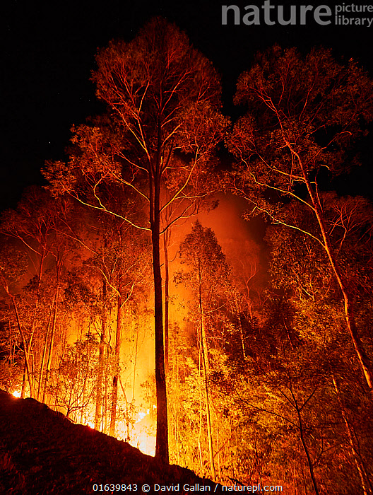 Bushfire in spotted gum (Corymbia maculata) forest on the far south coast of New South Wales, Australia. January 2020., Plant,Vascular plant,Flowering plant,Rosid,Myrtle,Spotted gum tree,Beaufortia,Beaufortia sparsa,Plantae,Plant,Tracheophyta,Vascular plant,Magnoliopsida,Flowering plant,Angiosperm,Seed plant,Spermatophyte,Spermatophytina,Angiospermae,Myrtales,Rosid,Dicot,Dicotyledon,Rosanae,Myrtaceae,Myrtle,Corymbia,Corymbia maculata,Spotted gum tree,Eucalyptus tree,Eucalyptus maculata,Burning,Destruction,Australasia,Australia,New South Wales,Tree,Fire,Flame,Natural Disaster,Forest Fire,Forest Fires,Smoke,Night,Forest,Wildfire,Wild fire,Wild fires,Fire Damage,Beaufortia,Beaufortia sparsa,, David Gallan