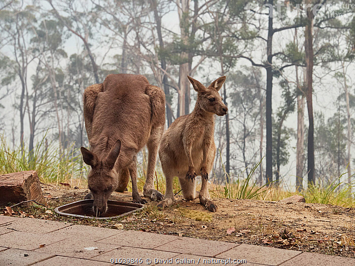 Desperately thirsty eastern grey kangaroos (Macropus giganteus) drink from a bird bath following a bushfire in Tathra, New South Wales, Australia. Water holes had dried up due to drought and food was scarce. Sky darkened by smoke and ash. December 2019., Survivors,,Animal,Wildlife,Vertebrate,Mammal,Marsupial,Macropod,Eastern grey kangaroo,Animalia,Animal,Wildlife,Vertebrate,Mammalia,Mammal,Marsupialia,Marsupial,Macropodidae,Macropod,Macropus,Macropus giganteus,Eastern grey kangaroo,Kangaroo,Survival,Thirsty,Thirst,Two,Australasia,Australia,New South Wales,Young Animal,Baby,Baby Mammal,Joey,Joeys,Natural Disaster,Forest Fire,Forest Fires,Smoke,Drinking,Forest,Family,Mother baby,Mother,Parent baby,, David Gallan