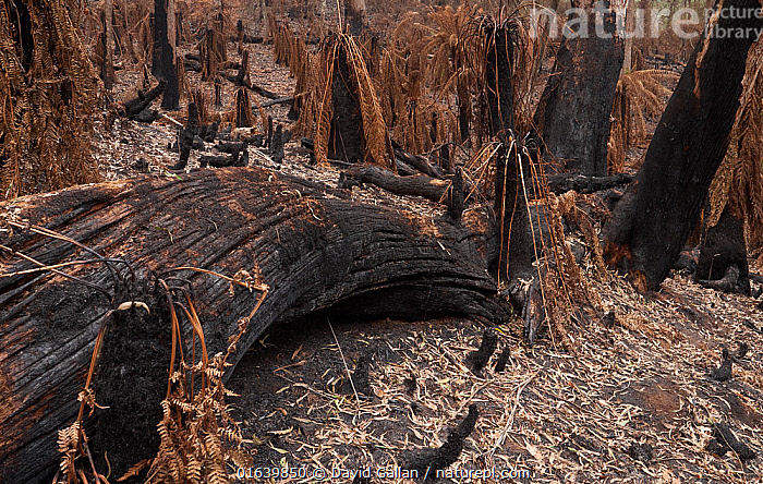 Blackened trees and scorched tree ferns in Monga National Park, New South Wales, Australia. Damage caused by the December 2019 - January 2020 bushfires. Stressed trees have dropped scorched leaves onto the forest floor., Damaged,Burnt,Destruction,Australasia,Australia,New South Wales,Natural Disaster,Forest Fire,Forest Fires,Rainforest,Temperate rainforest,Reserve,Forest,Protected area,National Park,, David Gallan