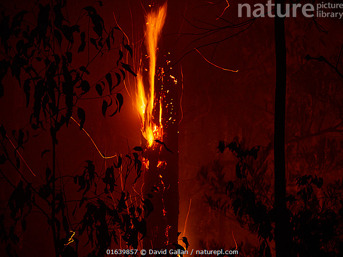Dead trees continue to burn long after a bushfire has swept through forest in New South Wales, Australia. December 2019., Burning,Damaged,Destruction,Australasia,Australia,New South Wales,Fire,Flame,Natural Disaster,Forest Fire,Forest Fires,Forest,Wildfire,Fire Damage,, David Gallan