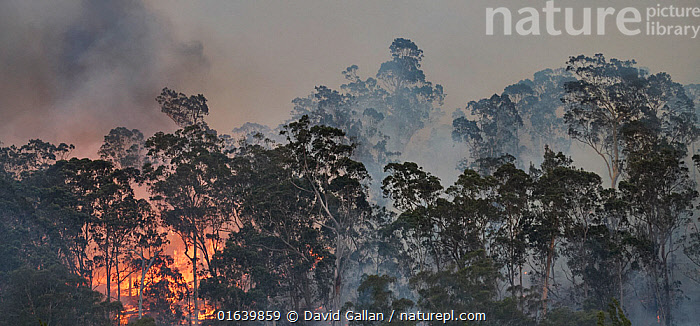 Forest fire on ridge near Clyde River, New South Wales, Australia. December 2019., Burning,Australasia,Australia,New South Wales,Fire,Flame,Natural Disaster,Forest Fire,Smoke,Forest,, David Gallan