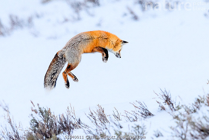 Red fox (Vulpes vulpes) adult hunting for rodents by 'snow diving' in deep snow. Hayden Valley, Yellowstone, USA. January, February,Montana,Vulpes,Wyoming,Yellowstone,diving,hunting,ice,red fox,snow,snow dive,winter,,Animal,Wildlife,Vertebrate,Mammal,Carnivore,Canid,True fox,Red fox,Animalia,Animal,Wildlife,Vertebrate,Mammalia,Mammal,Carnivora,Carnivore,Canidae,Canid,Vulpes,True fox,Vulpini,Caninae,Vulpes vulpes,Red fox,, Nick Garbutt