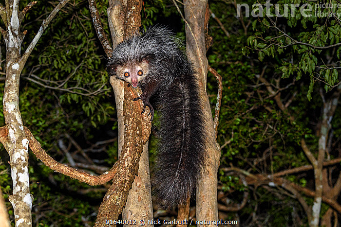 Aye-aye (Daubentonia madagascariensis) adult active and foraging in forest canopy at night. Deciduous forests, Daraina, northern Madagascar. Endangered endemic species., Animal,Wildlife,Vertebrate,Mammal,Aye-aye,Aye aye,Animalia,Animal,Wildlife,Vertebrate,Mammalia,Mammal,Primate,Primates,Daubentoniidae,Aye-aye,Prosimians,Daubentonia,Daubentonia madagascariensis,Aye aye,Bizarre,Weird,Endangered,Africa,Madagascar,Malagasy Republic,Republic of Madagascar,Plant,Tree,Tail,Night,Nocturnal,Forest,Biodiversity hotspots,Biodiversity hotspot,Endemic,, Nick Garbutt