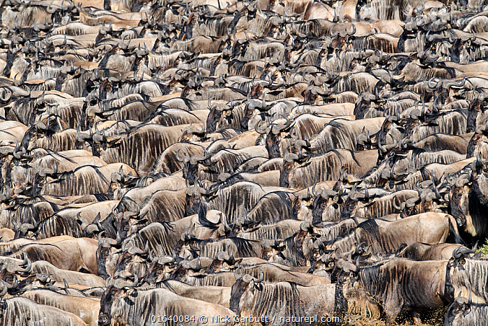 RF - Herds of White-bearded wildebeest (Connochaetes taurinus albojubatus) waiting to cross the Mara River. Serengeti National Park, Tanzania. September. (This image may be licensed either as rights managed or royalty free.)  ,  Migration,Group Of Animals,Herd,Group,Large Group,Africa,East Africa,Tanzania,Animal,Animal Behaviour,Behaviour,Serengeti,Behavioural,RF,Royalty free,RF5,  ,  Nick Garbutt