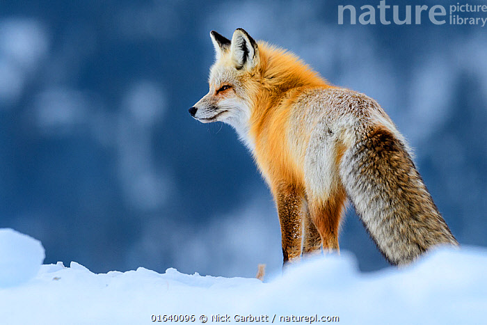 RF - Red fox (Vulpes vulpes) in deep snow. Yellowstone National Park, USA. January (This image may be licensed either as rights managed or royalty free.)  ,  Animal,Wildlife,Vertebrate,Mammal,Carnivore,Canid,True fox,Red fox,American,Animalia,Animal,Wildlife,Vertebrate,Mammalia,Mammal,Carnivora,Carnivore,Canidae,Canid,Vulpes,True fox,Vulpini,Caninae,Vulpes vulpes,Red fox,Temperature,Cold,North America,USA,Western USA,Wyoming,Rear View,Portrait,Snow,Winter,Reserve,Protected area,National Park,Yellowstone National Park,American,United States of America,RF,Royalty free,RF5,  ,  Nick Garbutt