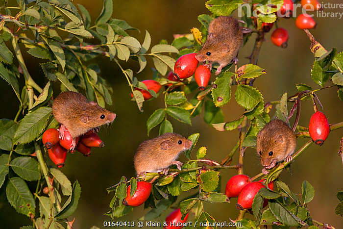 Young Harvest mice (Micromys minutus) climbing in dog rose bush in fall, , (Rosa canina) France. Controlled conditions.  ,  Animal,Wildlife,Vertebrate,Mammal,Rodent,Mouse,Eurasian Harvest Mouse,Animalia,Animal,Wildlife,Vertebrate,Mammalia,Mammal,Rodentia,Rodent,Muridae,Micromys,Mouse,Micromys minutus,Eurasian Harvest Mouse,Harvest Mouse,Group,Europe,Western Europe,France,Young Animal,Baby,Plant,Exploration,Fruit,Rosehip,  ,  Klein & Hubert