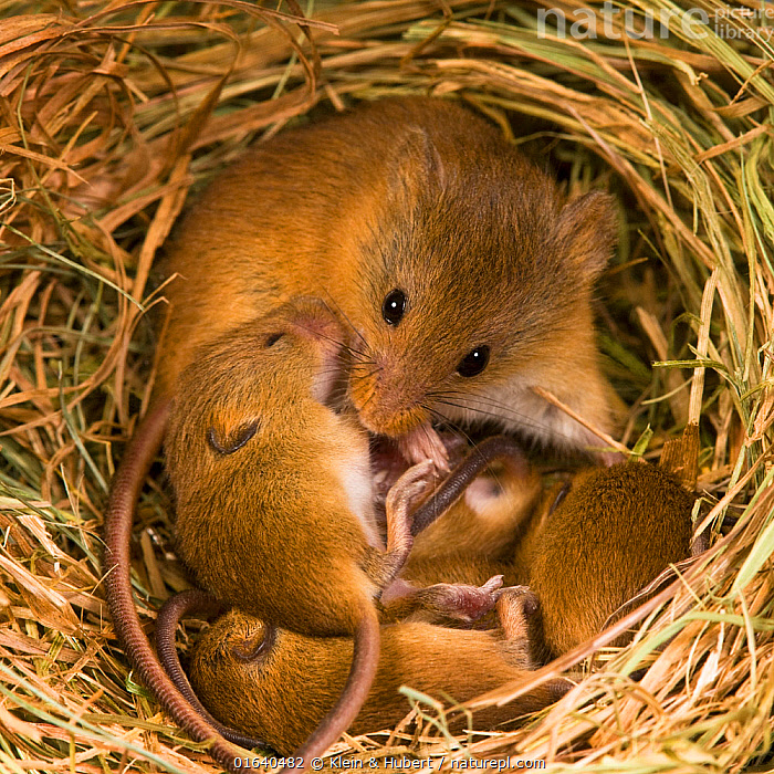Harvest mouse (Micromys minutus) female with her young age 10 days in her nest in summer,France, Controlled conditions.  ,  Animal,Wildlife,Vertebrate,Mammal,Rodent,Mouse,Eurasian Harvest Mouse,Animalia,Animal,Wildlife,Vertebrate,Mammalia,Mammal,Rodentia,Rodent,Muridae,Micromys,Mouse,Micromys minutus,Eurasian Harvest Mouse,Harvest Mouse,Europe,Western Europe,France,Young Animal,Baby,Female animal,Animal Home,Nest,Family,Mother baby,Mother,Parent baby,  ,  Klein & Hubert