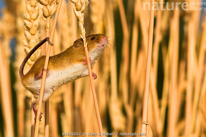 Young Harvest mouse (Micromys minutus) in cornfield in summer, France, Controlled conditions.  ,  Animal,Wildlife,Vertebrate,Mammal,Rodent,Mouse,Eurasian Harvest Mouse,Animalia,Animal,Wildlife,Vertebrate,Mammalia,Mammal,Rodentia,Rodent,Muridae,Micromys,Mouse,Micromys minutus,Eurasian Harvest Mouse,Harvest Mouse,Europe,Western Europe,France,Young Animal,Baby,Plant,Crops,Produce,Cultivated,Agricultural Land,Cultivated Land,Field,Climbing,Farmland,  ,  Klein & Hubert