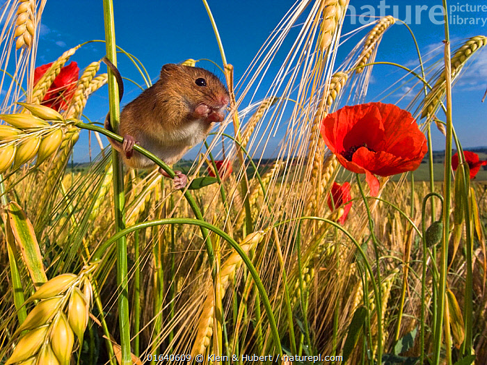 Harvest mouse (Micromys minutus) in cornfield with Poppies (Papaver rhoeas) in summer, France, Controlled conditions.  ,  Animal,Wildlife,Vertebrate,Mammal,Rodent,Mouse,Eurasian Harvest Mouse,Animalia,Animal,Wildlife,Vertebrate,Mammalia,Mammal,Rodentia,Rodent,Muridae,Micromys,Mouse,Micromys minutus,Eurasian Harvest Mouse,Harvest Mouse,Europe,Western Europe,France,Plant,Crops,Produce,Cultivated,Flower,Poppy,Poppies,Agricultural Land,Cultivated Land,Field,Summer,Habitat,Farmland,  ,  Klein & Hubert