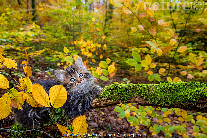Semi-longhaired tabby kitten, age two months lying on a mossy dead branch in a deciduous forest in autumn  ,  Felis catus,Cute,Adorable,Portrait,Animal,Young Animal,Baby,Baby Mammal,Kitten,Kittens,Outdoors,Autumn,Domestic animal,Pet,Domestic Cat,Domesticated,Felis catus,Cat,Tabby,  ,  Klein & Hubert