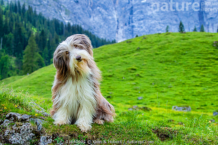 Bearded collie female lying on alpine pasture in spring, Austria.  ,  Canis familiaris,Europe,Western Europe,Austria,Animal,Pasture,Pastures,Mountain,Alpine,Grassland,Domestic animal,Pet,Domestic Dog,Pastoral Dog,Medium dog,Border Collie,Collie,Domesticated,Canis familiaris,Dog,Mammal,  ,  Klein & Hubert