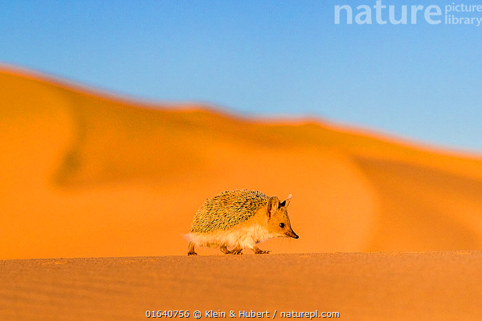 Long eared hedgehog (Hemiechinus auritus) walking on a dune bordering the Gobi desert at dusk, The dunes bordering the desert have at their bottom circular green patches rich in insects, Mongolia  ,  Animal,Wildlife,Vertebrate,Mammal,Hedgehog,Long-eared Hedgehog,Animalia,Animal,Wildlife,Vertebrate,Mammalia,Mammal,Erinaceomorpha,Erinaceidae,Hedgehog,Hemiechinus,Hemiechinus auritus,Long-eared Hedgehog,Cute,Adorable,Asia,East Asia,Mongolia,Independent Mongolia,Outer Mongolia,Copy Space,Sand Dune,Desert,Habitat,Negative space,  ,  Klein & Hubert