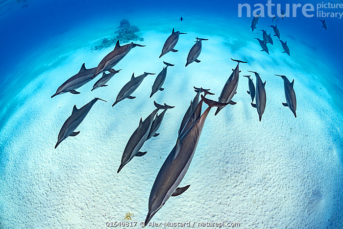 RF - Pod of Spinner dolphins (Stenella longirostris) cruise in formation over the sand of a lagoon while sleeping. Egypt. Red Sea (This image may be licensed either as rights managed or royalty free.), Animal,Wildlife,Vertebrate,Mammal,Ceteacean,Oceanic dolphin,Spotted dolphins,Long-beaked Dolphin,Animalia,Animal,Wildlife,Vertebrate,Mammalia,Mammal,Cetacea,Ceteacean,Delphinidae,Oceanic dolphin,Dolphin,Odontoceti,Stenella,Spotted dolphins,Bridled dolphins,Spinner dolphins,Stenella longirostris,Long-beaked Dolphin,Long-snouted Dolphin,Spinner Dolphin,Pantropical spinner dolphin,Resting,Rest,Sleeping,Group Of Animals,Group,Africa,North Africa,Northern Africa,Egypt,Tropical,Seabed,Red Sea,Marine,Underwater,Water,Saltwater,Sea,Pod,RF,Royalty free,RF5,Marine, Alex Mustard