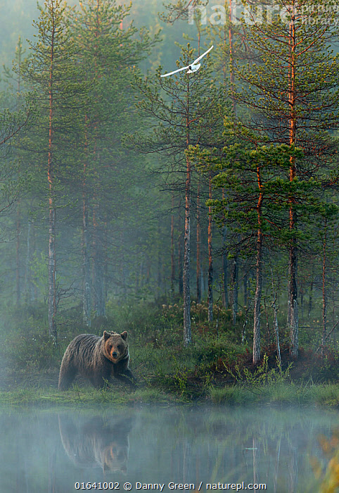 European Brown Bear (Ursus arctos) reflected in forest pond in evening mist, Finland, June, Animal,Wildlife,Vertebrate,Mammal,Carnivore,Bear,Brown Bear,Animalia,Animal,Wildlife,Vertebrate,Mammalia,Mammal,Carnivora,Carnivore,Ursidae,Bear,Ursus,Ursus arctos,Brown Bear,Flying,Mystery,Europe,Northern Europe,North Europe,Nordic Countries,Finland,Plant,Tree,Reflection,Mist,Beautiful,Woodland,Taiga,Boreal forest,Habitat,Forest,, Danny Green