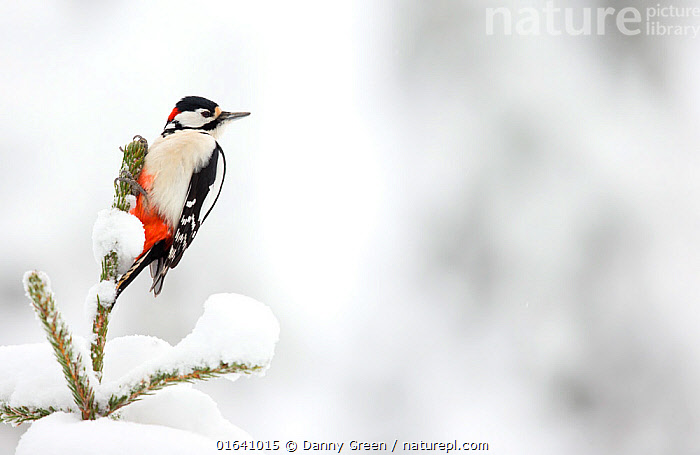 Great Spotted Woodpecker in snow (Dendrocopos major), Scotland, February.  ,  Animal,Wildlife,Vertebrate,Bird,Birds,Woodpecker,Great spotted woodpecker,Animalia,Animal,Wildlife,Vertebrate,Aves,Bird,Birds,Piciformes,Picidae,Dendrocopos,Woodpecker,Picinae,Dendrocopos major,Great spotted woodpecker,Greater spotted woodpecker,Greater pied woodpecker,Europe,Western Europe,UK,Great Britain,Scotland,Copy Space,Snow,Negative space,  ,  Danny Green