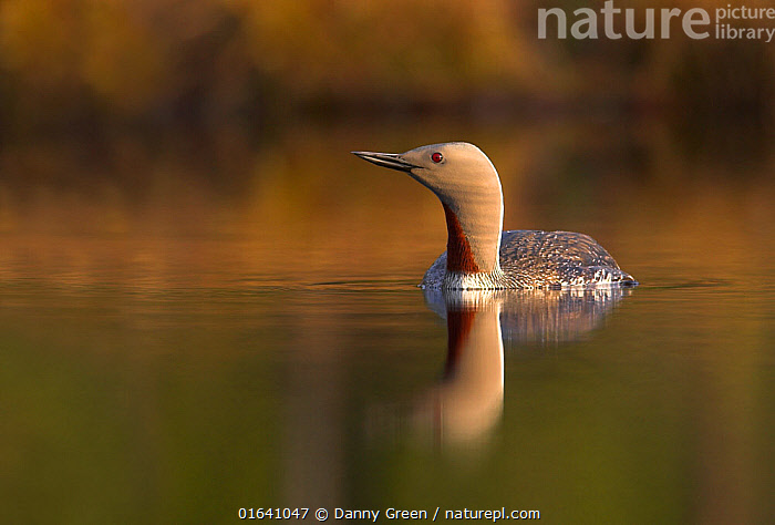 Red-throated diver (Gavia stellata) adult. Iceland, May.  ,  Animal,Wildlife,Vertebrate,Bird,Birds,Diver,Red throated diver,Animalia,Animal,Wildlife,Vertebrate,Aves,Bird,Birds,Gaviiformes,Gaviidae,Diver,Loon,Gavia,Gavia stellata,Red throated diver,Red throated loon,Europe,Northern Europe,North Europe,Nordic Countries,Scandinavia,Iceland,Copy Space,Reflection,Negative space,  ,  Danny Green
