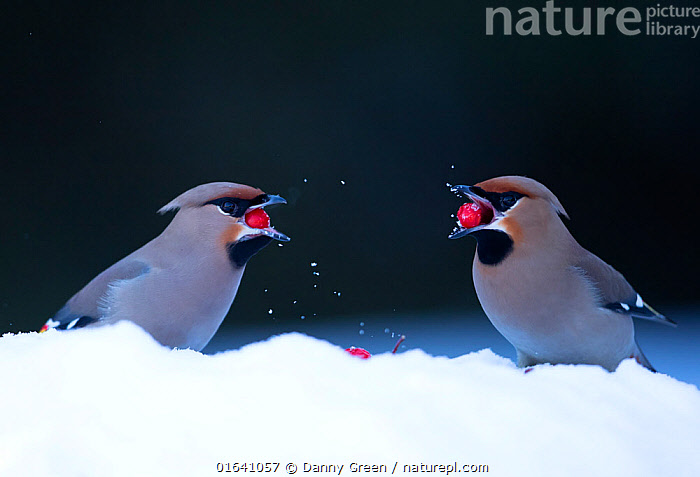 Waxwings (Bombycilla garrulus), in snow.  Finland, March  ,  Animal,Wildlife,Vertebrate,Bird,Birds,Songbird,Waxwing,Bohemian waxwing,Animalia,Animal,Wildlife,Vertebrate,Aves,Bird,Birds,Passeriformes,Songbird,Passerine,Bombycillidae,Waxwing,Bombycilla,Bombycilla garrulus,Bohemian waxwing,Greater waxwing,Common waxwing,Bombycillia garrula,Ampelis garrulus,Europe,Northern Europe,North Europe,Nordic Countries,Finland,Copy Space,Plant,Berry,Snow,Winter,Feeding,Fruit,Negative space,Catalogue13,Catalogue13  ,  Danny Green
