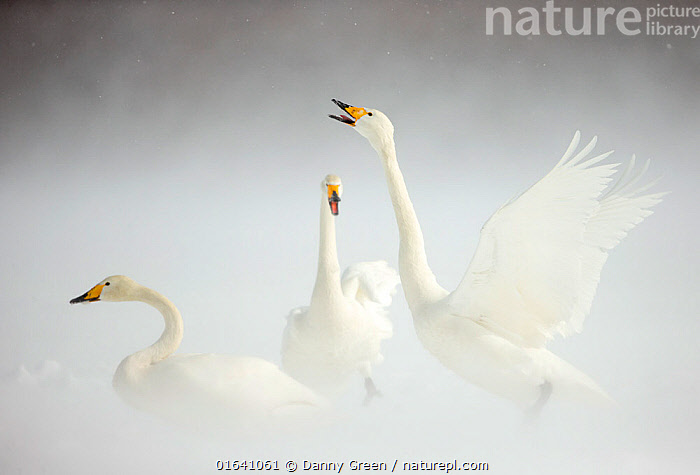 Whooper Swans (Cygnus cygnus) in snow. Japan, February.  ,  Animal,Wildlife,Vertebrate,Bird,Birds,Water fowl,Waterfowl,True swan,Whooper swan,Animalia,Animal,Wildlife,Vertebrate,Aves,Bird,Birds,Anseriformes,Water fowl,Galloanserans,Waterfowl,Anatidae,Cygnus,True swan,Swan,Cygninae,Anserinae,Cygnus cygnus,Whooper swan,Few,Three,Group,Asia,East Asia,Japan,Snow,Biodiversity hotspot,Wildfowl  ,  Danny Green