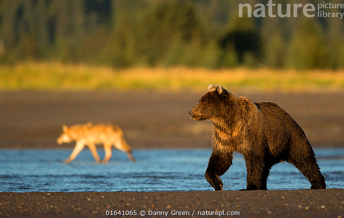 Wolf (Canis lupus) and Grizzly Bear (Ursus arctos). Lake Clark National Park, Alaska, September.  ,  Animal,Wildlife,Vertebrate,Mammal,Carnivore,Bear,Brown Bear,Canid,Grey Wolf,American,Animalia,Animal,Wildlife,Vertebrate,Mammalia,Mammal,Carnivora,Carnivore,Ursidae,Bear,Ursus,Ursus arctos,Brown Bear,Canidae,Canid,Canis,Canis lupus,Grey Wolf,Common Wolf,Wolf,North America,USA,Western USA,Alaska,Taiga,Boreal forest,Reserve,Forest,Protected area,National Park,Lake Clark National Park,American,United States of America,Lake Clarke National Park,  ,  Danny Green