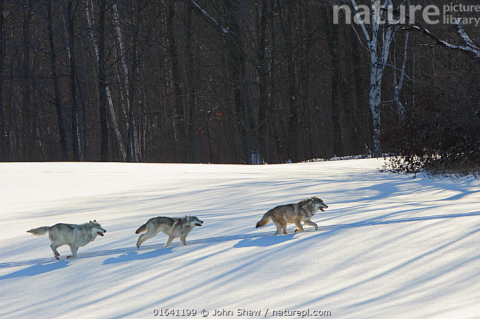 Grey wolves running in snow (Canis lupus),  Minnesota, USA.  January.  Controlled situation.  ,  Animal,Wildlife,Vertebrate,Mammal,Carnivore,Canid,Grey Wolf,American,Catalogue13,Animalia,Animal,Wildlife,Vertebrate,Mammalia,Mammal,Carnivora,Carnivore,Canidae,Canid,Canis,Canis lupus,Grey Wolf,Common Wolf,Wolf,Running,Few,Three,Group,Temperature,Cold,North America,Snow,Winter,Nature,Moving,American,United States of America,Movement,Catalogue13,Animals,Vertebrates,Chordates,Mammals,Carnivores,Canids,Groups,Animal,Wildlife,Vertebrate,Mammal,Carnivore,Canid,Grey Wolf,American  ,  John Shaw