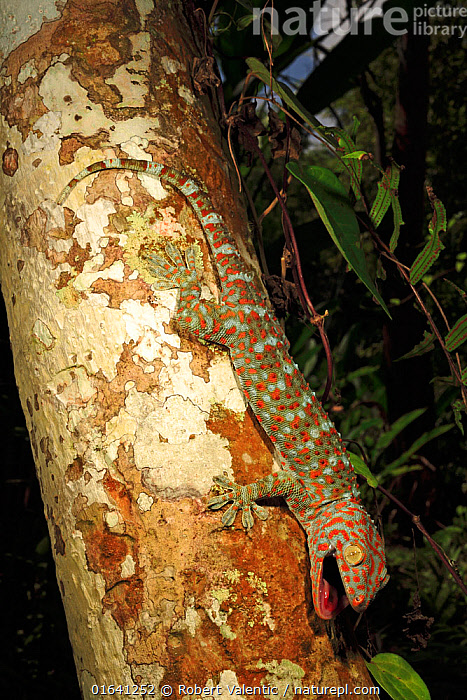 Tokay gecko (Gekko gecko) male from a rubber plantation near Krabi, Thailand, Controlled conditions.  ,  Animal,Wildlife,Vertebrate,Reptile,Squamate,Gecko,Tokay gecko,Animalia,Animal,Wildlife,Vertebrate,Reptilia,Reptile,Squamata,Squamate,Gekkonidae,Gecko,Lizard,Gekko,Gekko gecko,Tokay gecko,Lacerta Gecko,Gekko verticillatus,Gekko teres,Asia,South East Asia,Thailand,Profile,Side View,  ,  Robert Valentic