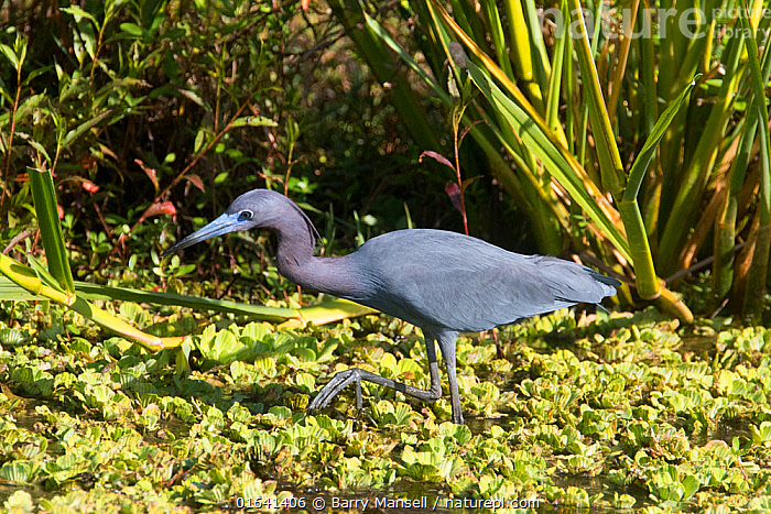 Little blue heron (Egretta caerulea) North Florida, USA, October.  ,  Animal,Wildlife,Vertebrate,Bird,Birds,True egret,Little blue heron,American,Animalia,Animal,Wildlife,Vertebrate,Aves,Bird,Birds,Pelecaniformes,Ardeidae,Egretta,True egret,Heron,Ardeinae,Egretta caerulea,Little blue heron,North America,USA,Southern USA,Southeast USA,Florida,Profile,Side View,American,United States of America,  ,  Barry Mansell