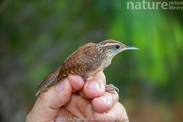 Carolina wren (Thryothorus ludovicianus) in the hand following mist netting and ringing by Texas Parks and Wildlife Department. Southmost Preserve, The Nature Conservancy reserve, Brownsville, Texas, USA. July 2019.  ,  Animal,Wildlife,Vertebrate,Bird,Birds,Songbird,Wren,Carolina wren,American,Animalia,Animal,Wildlife,Vertebrate,Aves,Bird,Birds,Passeriformes,Songbird,Passerine,Troglodytidae,Wren,Thryothorus,Thryothorus ludovicianus,Carolina wren,Mocking wren,Bird Ringing,Natural Science,Life Science,Ecology,Research,Researching,North America,USA,Southern USA,Texas,Hand,Science,Reserve,Protected area,American,Cameron County,United States of America,bird banding,Southmost Preserve,Brownsville,  ,  Wendy Shattil
