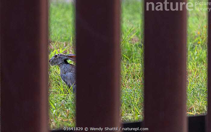Black-tailed jackrabbit (Lepus californicus) viewed through border wall. Southmost Preserve, The Nature Conservancy Reserve. The border wall separates 85% of the reserve from the United State's side of the barrier. Brownsville, Texas, USA. July 2019.  ,  Animal,Wildlife,Vertebrate,Mammal,Lagomorph,Leporid,Hare,Black tailed jackrabbit,American,Animalia,Animal,Wildlife,Vertebrate,Mammalia,Mammal,Lagomorpha,Lagomorph,Leporidae,Leporid,Lepus,Hare,Lepus californicus,Black tailed jackrabbit,Divide,Divided,Division,Latin America,Central America,Mexico,North America,USA,Southern USA,Texas,Boundary,Fence,Geographical Border,Reserve,Conservation issues,Protected area,American,Cameron County,United States of America,Southmost Preserve,Brownsville,  ,  Wendy Shattil