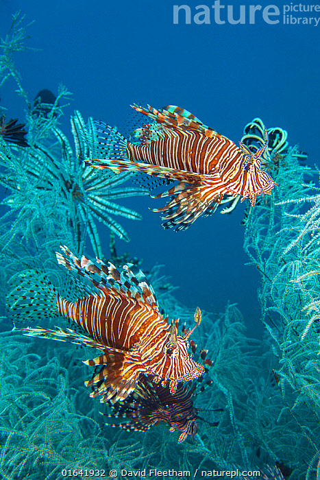 Lionfish (Pterois volitans) in white polyp black coral, Tulamben, Bali, Indonesia.  ,  Animal,Wildlife,Vertebrate,Ray-finned fish,Lionfish,Scorpionfish,Animalia,Animal,Wildlife,Vertebrate,Actinopterygii,Ray-finned fish,Osteichthyes,Bony fish,Fish,Scorpaeniformes,Scorpaenidae,Scorpionfishes,Pterois,Lionfish,Pterois volitans,Butterfly cod,Common lionfish,Featerfins,Firefish,Ornate butterfly-cod,Peacock lionfish,Ref lionfishGasterosteus volitans,Two,Asia,South East Asia,Indonesia,Bali Island,Tropical,Reef,Reefs,Coral Reef,Coral Reefs,Ocean,Pacific Ocean,Marine,Underwater,Water,Saltwater,Scorpionfish,Biodiversity hotspot,Tulamben,Marine  ,  David Fleetham